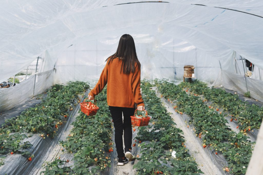 Girl picking strawberries fruit in a small scale greenhouse at home