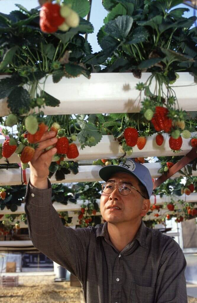 Man inspecting strawberries fruit in hydroponics NFT system